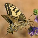 Glandon_Machaon.jpg