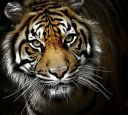 EPV0254v2Color_effex4_Tiger_C.jpg